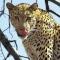 leopard90
